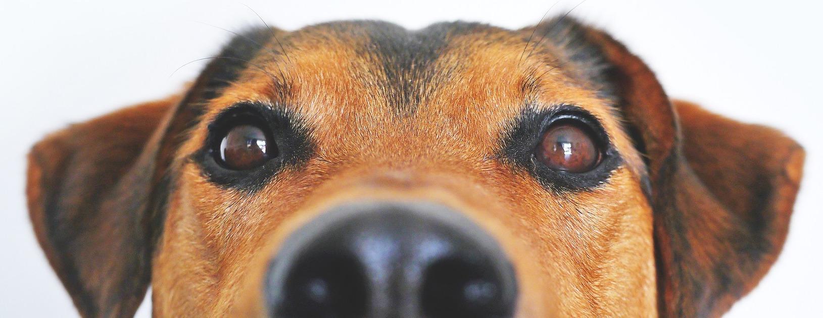 hund gesicht
